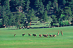 A herd of bull American elk (Cervus elaphus) play in a meadow in front of MacGregor Ranch in Estes Park, Colorado.
