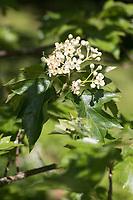 Elsbeere, Elzbeere, Sorbus torminalis, Wild Service Tree, Alisier torminal