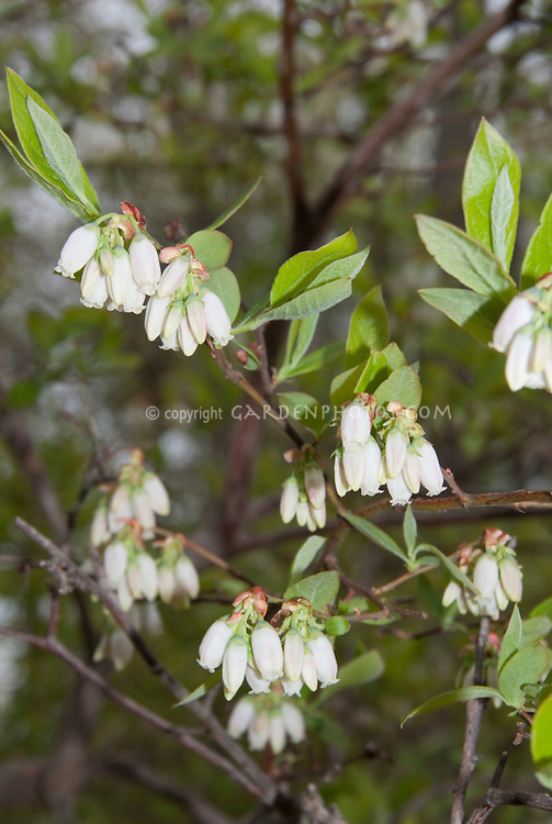 Vaccinium corymbosum, highbush blueberries in bloom in spring, showing white bell like flowers on branches in clusters