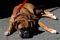 Boxer Dog, on Leash and Lead, lying down and sleeping Outside on Sidewalk, Frontal View