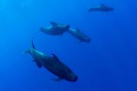 short-finned or shortfin pilot whales, Globicephala macrorhynchus, in blue water off Kona, Hawaii (Pacific Ocean)