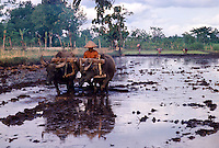 Indonesia. Java. Farmer cultivating a flooded rice paddy with a pair of water buffalo.  Other workers planting rice in the background.