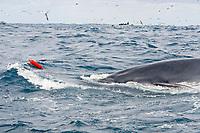 Bryde's whale, Balaenoptera edeni, Transkei, South Africa