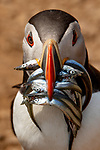 Puffin has a mouthful of fish by Ivan David