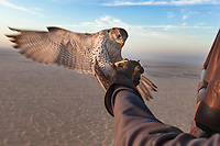 "United Arab Emirates (UAE). Dubai. Balloon Adventures Dubai. A Gyr Saker falcon flies back on his trainer's hand during a hot air balloon tour flight above the desert of Dubai. The hourlong experience provides a look at the beauty of long stretches of desert and a raptor flying at high altitude (1000 meters). The Gyr-Saker falcon is a hybrid of the world's largest hawk, the Gyrfalcon and the second largest hawk, the Saker falcon. Falcons are birds of prey in the genus Falco, which includes about 40 species. Adult falcons have thin, tapered wings, which enable them to fly at high speed and change direction rapidly. Additionally, they have keen eyesight for detecting food at a distance or during flight, strong feet equipped with talons for grasping or killing prey, and powerful, curved beaks for tearing flesh. Falcons kill with their beaks, using a ""tooth"" on the side of their beaks. The United Arab Emirates (UAE) is a country in Western Asia at the northeast end of the Arabian Peninsula. 17.02.2020  © 2020 Didier Ruef"
