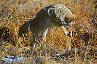 Coyote pouncing on mouse or vole, Western U.S., Fall.