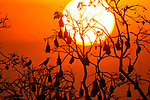 Indian Flying Fox and Indian House Crows and sunset. Rakhine State, Myanmar. January.