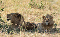 Two male Lions, Panthera leo  melanochaita, rest in the shade of a tree in Serengeti National Park, Tanzania