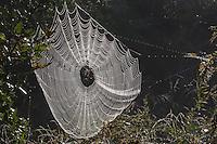 Spider web covered in dew, Lillington, North Carolina, USA