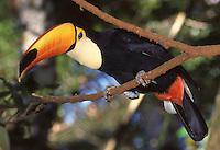 Tucano <br /> São designadas por tucano as aves da família Ramphastidae que vivem nas florestas da América Central e América do Sul. Possuem um bico grande e oco. A parte superior é constituída por trabéculas de sustentação e a parte inferior é de natureza óssea. Não é um bico forte, já que é muito comprido e a alavanca (maxilar) não é suficiente para conferir tal qualidade. Seu sistema digestivo é extremamente curto, o que explica a sua base alimentar, já que as frutas são facilmente digeridas e absorvidas pelo trato gastrointestinal.<br /> Carajás, Pará, Brasil.<br /> Foto Paulo Santos