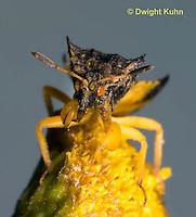AM01-680z  Ambush Bug male close-up of face, tansey flowers, Phymata americana