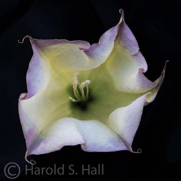 The Sacred Datura Lily is said to be hallucinogenic.  It can also cause blindness. Some are pure white while others have a purple hue to their whimsical petals.