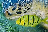 Green Tourtle with Pilot fish, Chelonia mydas, Marsa Abu Dabbab, Marsa Alam, Egypt, Red Sea