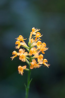 Crested Yellow Orchid, Pine Barrens, New Jersey
