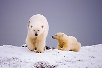 polar bear, Ursus maritimus, mother with cub along the Arctic coast, 1002 area of the Arctic National Wildlife Refuge, Alaska, polar bear, Ursus maritimus