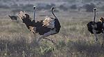 Kenya, Chyulu Hills National Park, common ostrich (Struthio camelus)