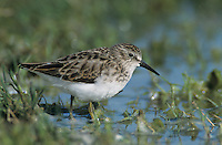 Least Sandpiper, Calidris minutilla, adult, Choke Canyon State Park, Texas, USA, April 2002