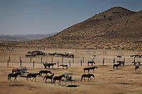 Nearly 900 wild horses brought in from the Jackson Mountains are processed at Palomino Valley holding facility.  The Bureau of Land Management oversees horses at the large holding facility. Horses that are sorted into mares and foals, stallions and then given vaccinations and a freeze brand. The horses are given grasses and eventually alfalfa to eat...but since many were starving when they arrived, the food is difficult for them to digest. Many would have died if left on the land over winter.  But some of the horses contracted lung diseases at the facility and are given antibiotics.