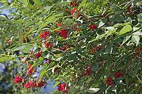 Roter Holunder, Trauben-Holunder, Traubenholunder, Bergholunder, Berg-Holunder, Reife Früchte, Sambucus racemosa, Red Berried Elder, Red Elderberry, fruit, Sureau à grappes, Sureau rouge