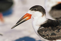 Black Skimmer, Rynchops niger, adult close up, Fort Meyers, Florida, USA