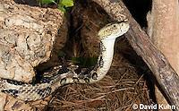0601-0904  Timber Rattlesnake (Canebrake Rattlesnake), Crotalus horridus  © David Kuhn/Dwight Kuhn Photography