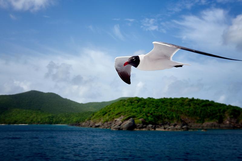 Venezuelan Laughing Gull flying by boat in  Virgin Islands.