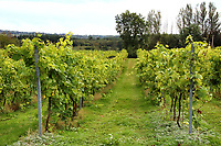 Award winning Family run vineyard, in East Sussex, Carr Taylor Wines has been established for close to 50 years. The Vineyard currently covers 36 acres and Carr Taylor grows and produces still white wine and sparkling wine. Westfield, Hastings, East Sussex on September 4th 2020 <br /> <br /> Photo by Keith Mayhew