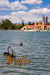 Canada Geese and goslings at City Park, Denver, Colorado .  John leads private, wildlife photo tours throughout Colorado. Year-round. .  John offers private photo tours in Denver, Boulder and throughout Colorado. Year-round.