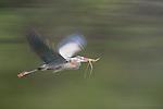 Great blue heron in flight, Florida