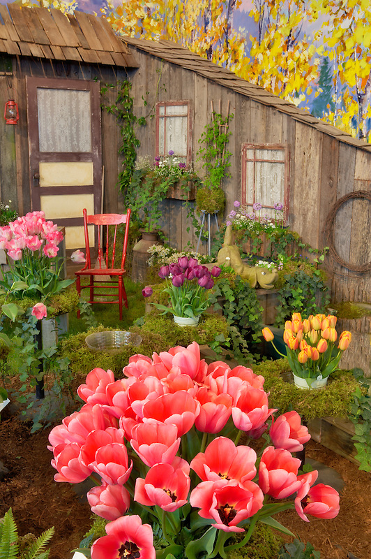 Indoor tulip display. Tulip Town. Mt. Vernon. Washington
