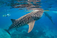researcher observes a whale shark, Rhincodon typus, while taking notes in Oslob, Philippines