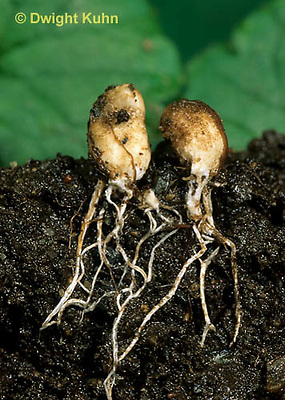 DC32-016a  Webcap (Cortinar) - mushroom buttons showing mycelium strands underground - Cortinarius