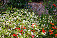 Persicaria virginiana 'Painter's Palette', Variegated Virginia knotweed (aka Polygonum virginianum) variegated foliage in california garden with Crocosmia