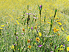"There was a bit of a cerfuffle (also spelt kerfuffle) in the leafy avenues of Hampstead recently and it's all about this ""field"" of wild cornfield flowers.<br />