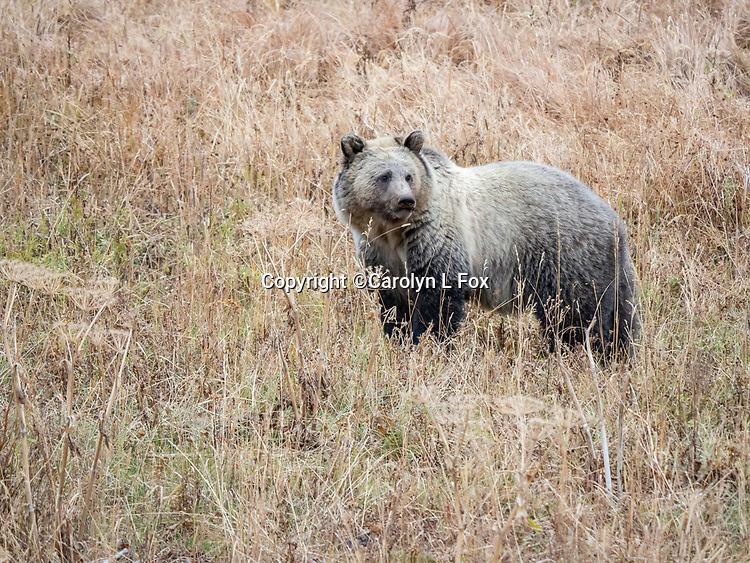 Grizzly bears can sometimes be found in Yellowstone National Park. Grizzly bears can sometimes be seen in Yellowstone. Grizzly bears can sometimes be found in Yellowstone.