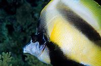 Egypt red sea shab claudio - Longfin bannerfish (Heniochus acuminatus) swimming, close-up