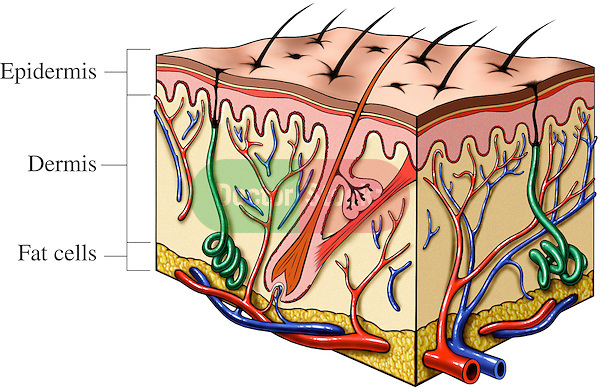 Cut-away of Skin Section.