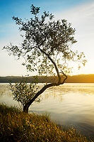 Curvy tree on shore of Lake Ozette at sunrise, Tivoli Island, Lake Ozette, Olympic National Park, Washington, USA