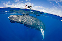 humpback whale, Megaptera novaeangliae, adult, swimming just under the surface as people watch from a nearby boat, Turks & Caicos, Caribbean Sea, Atlantic Ocean