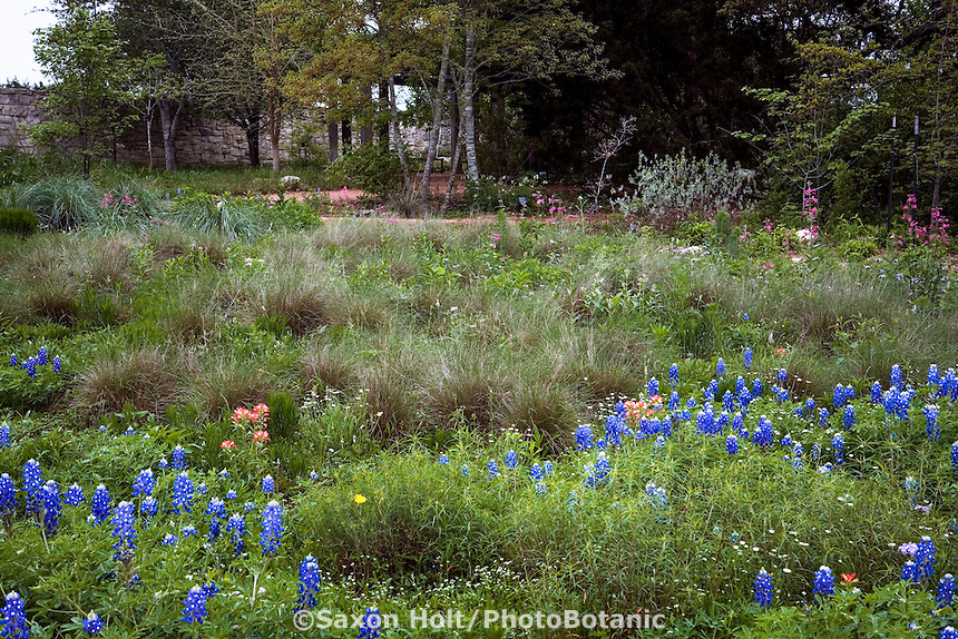 Texas wildflower meadow garden at Lady Bird Johnson Wildflower Center with Carex (sedge), Muhlenbergia grass, Lupine, and paintbrush flowers