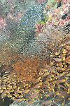 Tanjung Papisoi, Indonesia; schools of golden sweeper and glassfish swimming amongst the coral reef