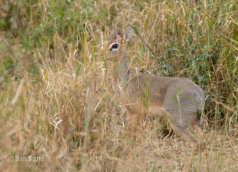 Female Kirk's Dik Dik, Madoqua kirkii, in Serengeti National Park, Tanzania