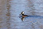 Drake hooded merganser holding a crayfish.