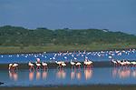 Lesser Flamingos in Lake Ndutu.