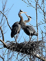 HERON DANCE<br />A pair of great blue herons occupy their nest on March 3 at Lake Fayetteville. Phyllis Kane took the picture from the Mulhollan wildlife viewing blind at the lake.<br />(Courtesy photo/Phyllis Kane)