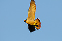 00433-001.13 Peregrine Falcon in flight against a blue sky.  Hunt, bird of prey, raptor, fly, speed, fast, talon.