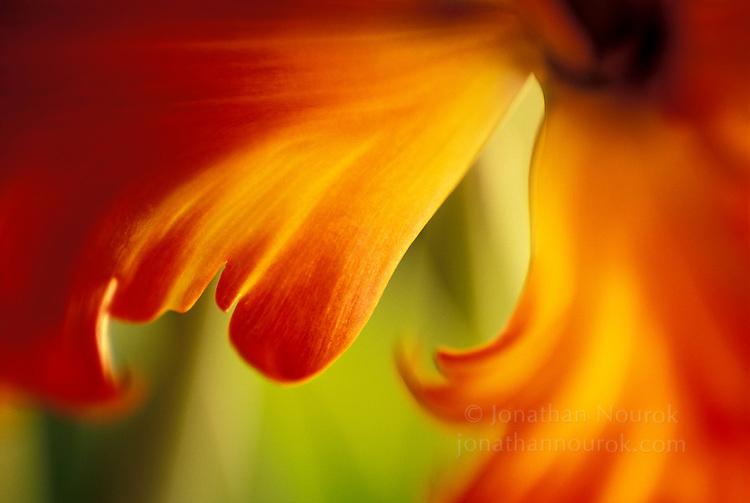 close-up of a tulip