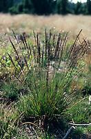 Blaues Pfeifengras, Gewöhnliches Pfeifengras, Kleines Pfeifengras, Besenried, Benthalm, Bentgras, Molinia caerulea, purple moor-grass, La molinie bleue, Paleine
