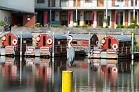 Graureiher, auch Fischreiher (Ardea cinerea), hinten Hausboote, Untere Havel, Brandenburg an der Havel, Brandenburg, Deutschland