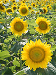 Sunflower field in a valley in the Balkan Mountains, central Bulgaria near Ablanitsa